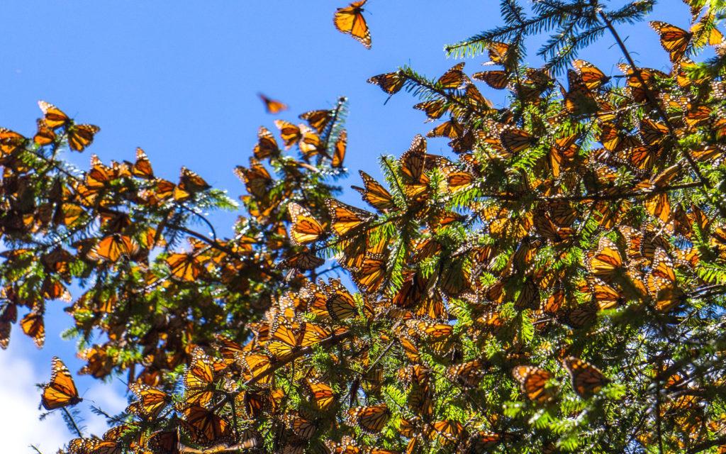 зимовка бабочек на ветках